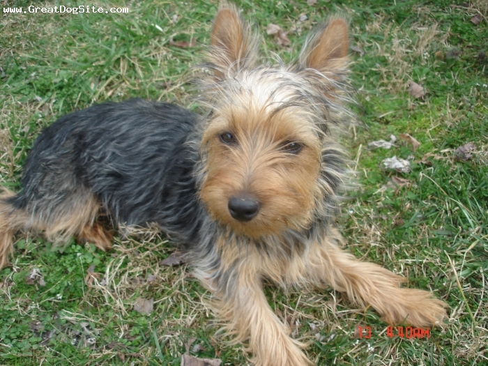 Silky Terrier, 7 months, blk and tan and silver, I love to kiss my mom and dad and run and play with my brother dauber dan and my sister emilyann they are rat terriers.