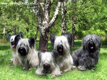 Skye Terrier, 2 years, Black, happy dogs
