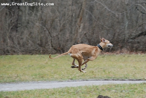 Sloughi, 11 months, brown, running