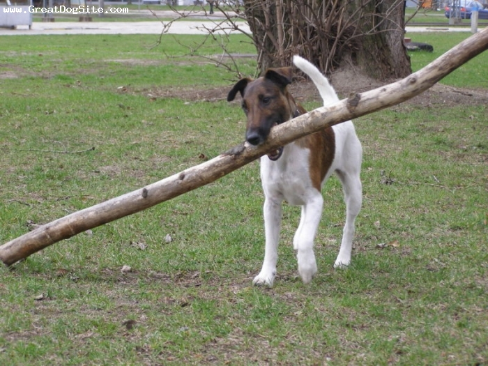Smooth Fox Terrier, 9 months, brown and white, carrying his stick