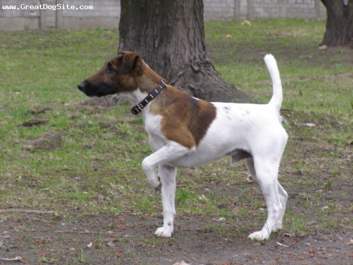 Smooth Fox Terrier, 9 months, brown and white, on point