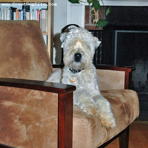 Soft Coated Wheaten Terrier, 1 year, Cream, He can see you