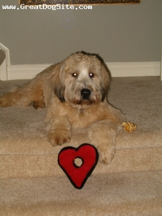 Soft Coated Wheaten Terrier, 1, Wheat, At one year old.