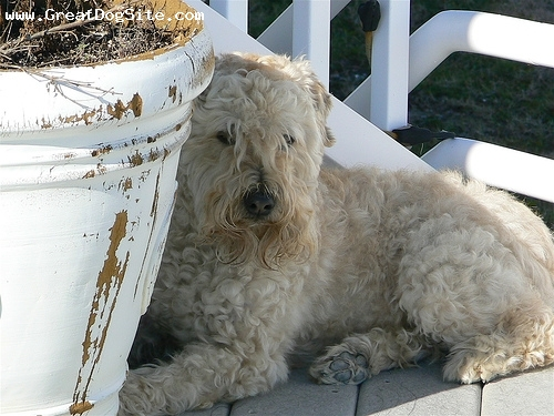 Soft Coated Wheaten Terrier, 1.5 years, Cream, the queens lair
