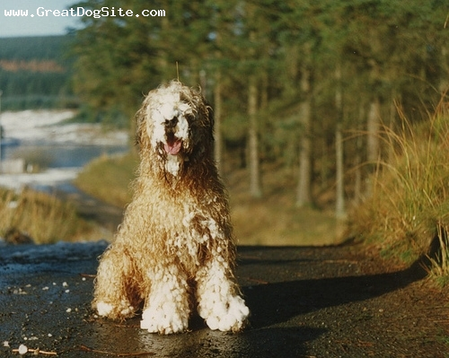 Soft Coated Wheaten Terrier, 2 years, Cream, in the sun
