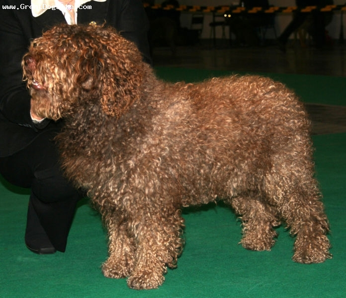 Spanish Water Dog, 1 year, brown, at a show