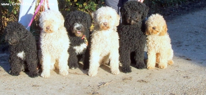 Spanish Water Dog, 6 months to 5 years, black, and creams, The motley crew, Daisy is Mum of Archie,and Roxy and Grandma to Graci who was sired by Archie.