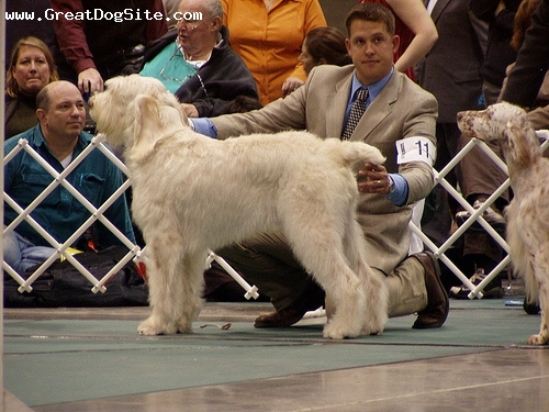 Spinone Italiano, 1 year, White, at a show