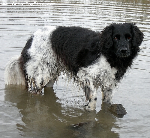 Stabyhoun, 1 year, black and white, in the water