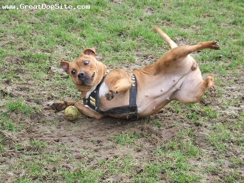 Staffordshire Bull Terrier, 1 year, brown, Get the ball!