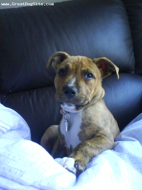 Staffordshire Bull Terrier, 1, red brindle, Just chillin!!!