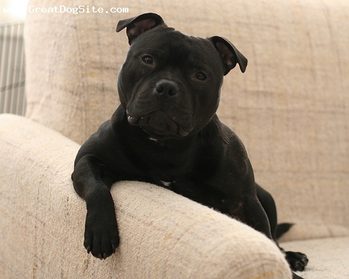 Staffordshire Bull Terrier, 11 months, Black, hes a big talker