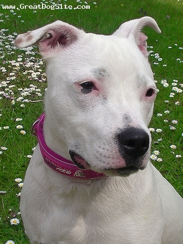 Staffordshire Bull Terrier, 7 months, white, with some flowers