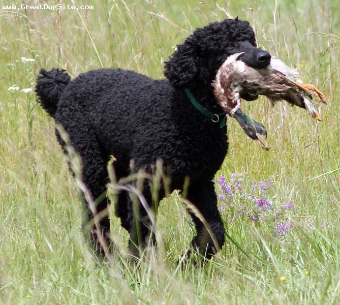 Standard Poodle, 1 year, Black, Hes a duck hunter