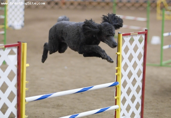 Standard Poodle, 1 year, Black, More jumping