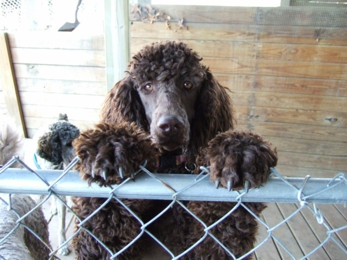 Standard Poodle, 2 years, Brown, Our 7th generation of happy healthy Standard Poodles@