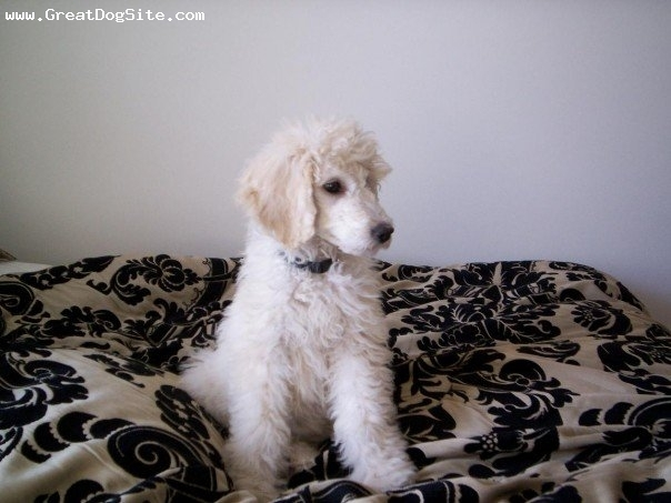 Standard Poodle, 4 months, White, Sitting on my bed.