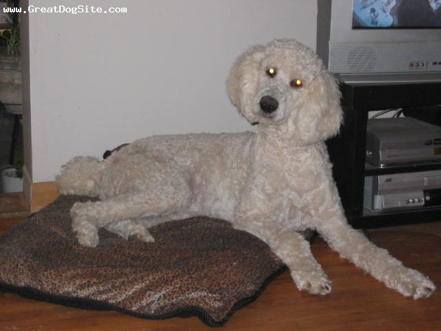 Standard Poodle, 4 years, White, Laying on her bed.
