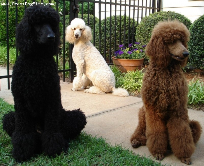 Standard Poodle, 5 years, Black, White, Red, Sitting around.