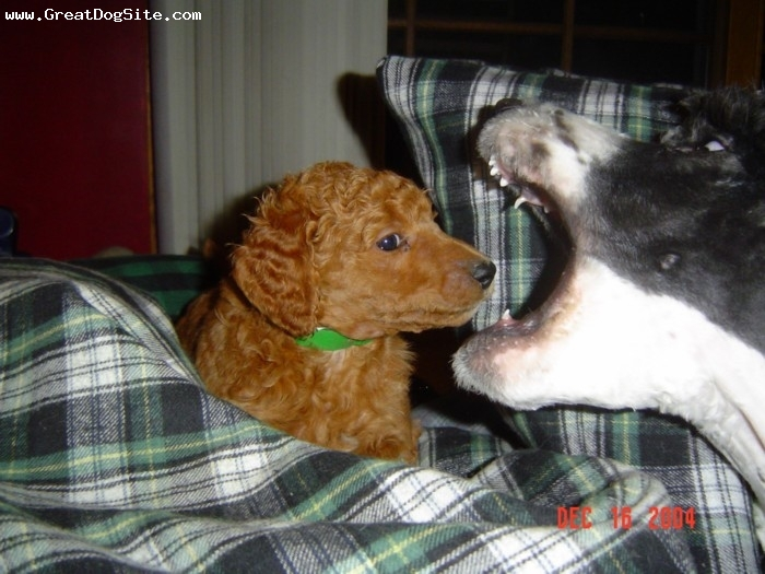 Standard Poodle, 6 weeks, red, Puppy was injured in the creation of this photo!
