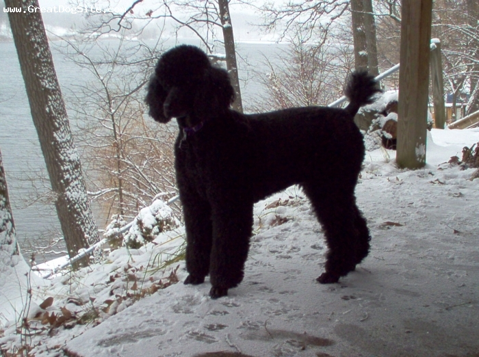 Standard Poodle, 8 years, black, loves to go for walks, play with other dogs and cats, eat cheese, sleep with me