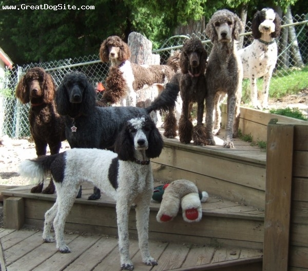 Standard Poodle, all, all, Some of our FABULOUS pets!!