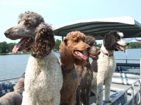 Standard Poodle, all, all, Waiting for our pontoon ride!