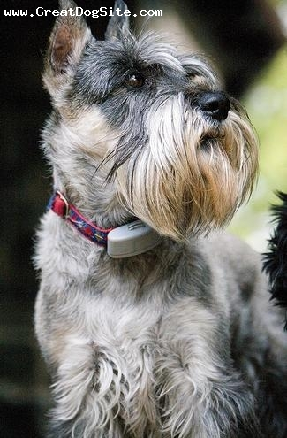 Standard Schnauzer, 1 year, Gray, hes wearing his invisible fence collar. works perfectly.