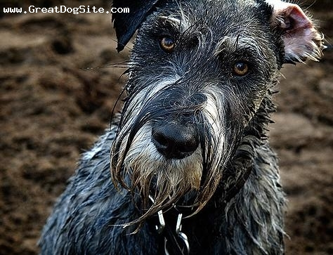 Standard Schnauzer, 3 years, gray, dirty and wet