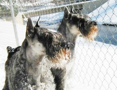 Standard Schnauzer, 4 yrs, Pepper & Salt, Mystic Moon Standaard Schnauzers the perfect companion/family/herding/show/rally. Standards excel at everything, great family pets the Kinderwatcher.