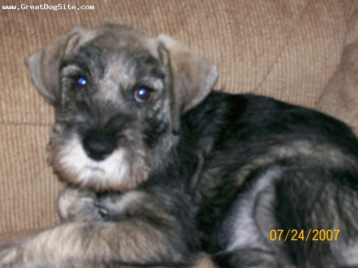 Standard Schnauzer, 8 weeks old, Pepper and Salt, such a cutie