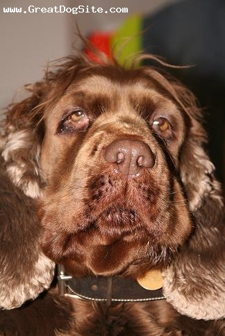 Sussex Spaniel, 2 years, brown, baggy face