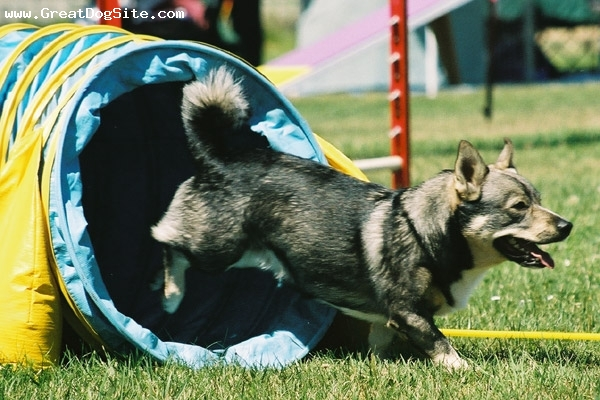 Swedish Vallhund, 1 year, gray, the ring
