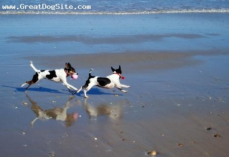 Tenterfield Terrier, 1 year, Tri color, Running on the beach.