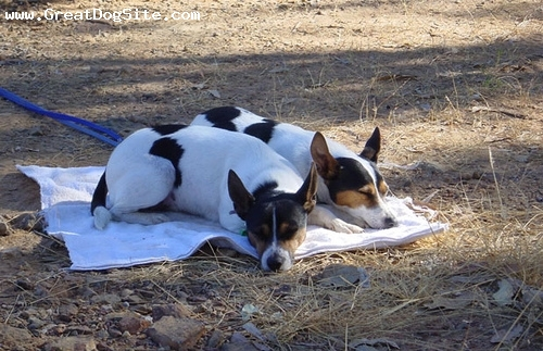 Tenterfield Terrier, 1 year, Tri color, Picnic.