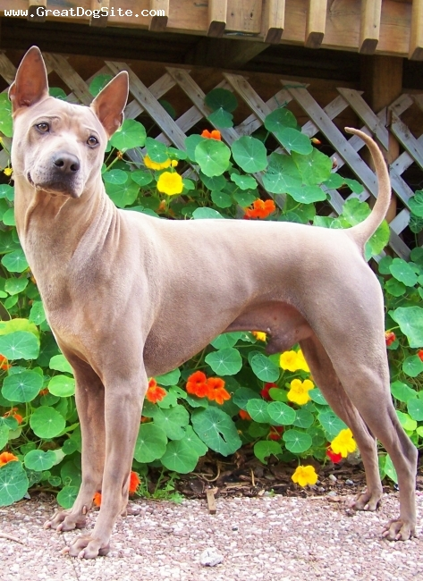 Thai Ridgeback, 3 years, fawn, Shown and owned by Urban Legends Thai Ridgeback Dogs, Canadian Champion Braun, has many Best Puppy in Show wins and many Group placements. Braun has quit the confrmation ring for his love of racing.