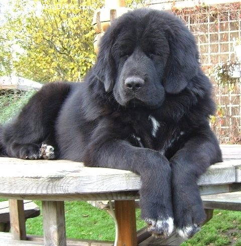 A photo of a 8 Months old, Black, Tibetan Mastiff - On a ...