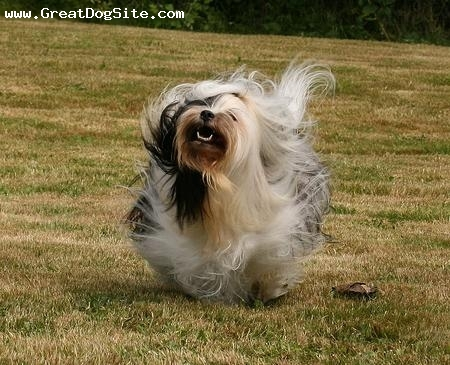 Tibetan Terrier, 1 year, Black and White, Running.