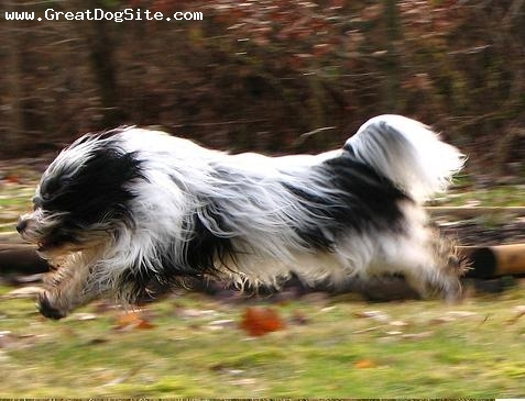 Tibetan Terrier, 1 year, Black and White, Hes quick.