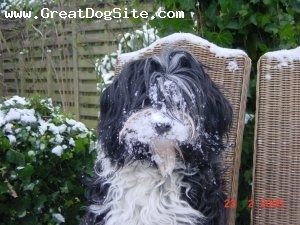 Tibetan Terrier, 2, black-white, sweet