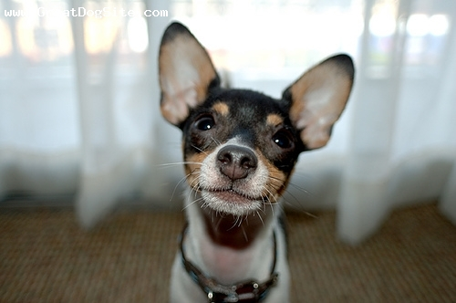 Toy Fox Terrier, 1 year, Tri Color, Nice face.