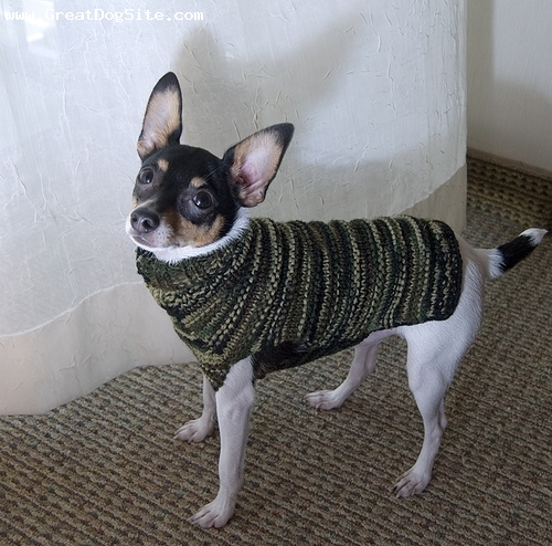 Toy Fox Terrier, 1.5 years, Tri color, sweater vest