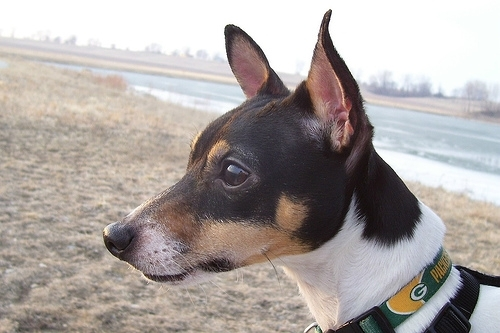 Toy Fox Terrier, 1.5 years, Tri color, at the beach