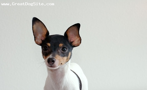Toy Fox Terrier, 10 months, Tri color, pretty girl
