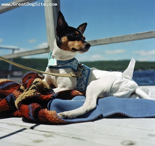 Toy Fox Terrier, 10 months, Tri color, on the boat. she still poops inside