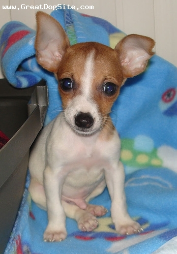 Toy Fox Terrier, 2 months, Brown and White, our new pup