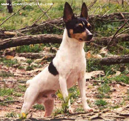 Toy Fox Terrier, 2 years, Tri color, standing tall