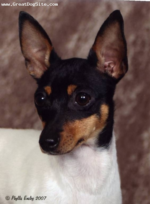 Toy Fox Terrier, 2 years, White, Black & Tan, TFT head study