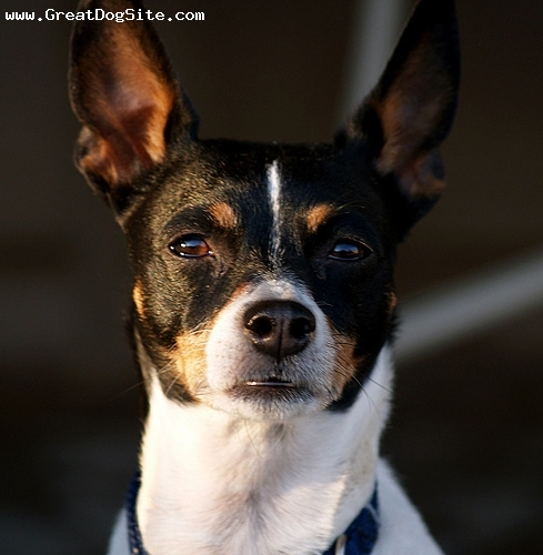 Toy Fox Terrier, 4 years, Tri color, chewing