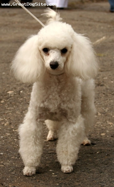 Toy Poodle, 1 year, White, With her poodle cut.